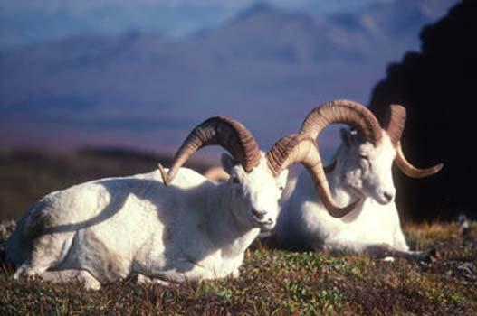 dall sheep jpg